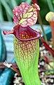 """Sarracenia """"Gin Goblin"""" (4772301005).jpg"""