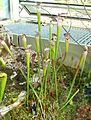 Sarracenia leucophila0 kew.jpg