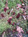 Sarracenia purpurea - Flickr - peganum.jpg