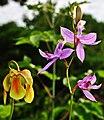 Sarracenia x 'Hummer's Okee Classic' & Calopogon tuberosus (9285298002).jpg