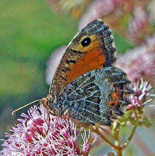 <i>Arethusana</i> genus of insects