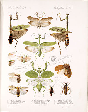 Henri Louis Frédéric de Saussure - Plate from Biologia centrali-americana. Insecta. Orthoptera