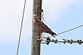 Savanna Hawk (Buteogallus meridionalis) (4090142798).jpg