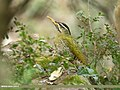 Scaly-bellied Woodpecker (Picus squamatus) (42058072160).jpg