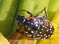 Scarabaeidae Cetoniinae Cyrtothyrea marginalis Common dotted fruit chafer EOS 00690ss.jpg