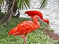 Scarlet Ibis (5487604222).jpg