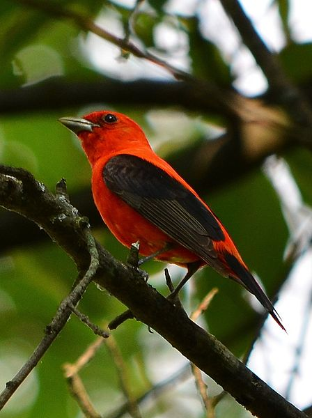 File:Scarlet Tanager (7467759424).jpg