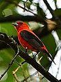 Scarlet Tanager (7467759424).jpg