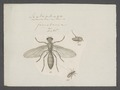 Scatophaga - Print - Iconographia Zoologica - Special Collections University of Amsterdam - UBAINV0274 039 07 0018.tif
