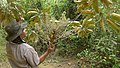 Schefflera morototoni (Aubl.) Maguire, Steyerm. & Frodin (8182033132).jpg