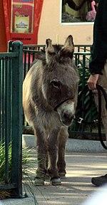 Scicilian Donkey.jpg
