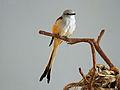 Scissor-tailed Flycatcher RWD7.jpg
