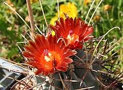 Sclerocactus unc wrig Flower.jpg