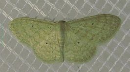Scopula.sp-(minorata minorata or lactaria).jpg