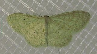 <i>Scopula minorata</i> Species of geometer moth in subfamily Sterrhinae