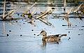 Scouting Duck (7337783730).jpg