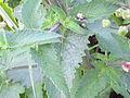 Scrophularia auriculata TalloyHojas 2011-5-14 SierraMadrona.jpg