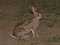 Scrub Hare (Lepus saxatilis) (11967323726).jpg