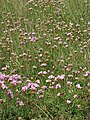 Sea thrift (Armeria maritima) - geograph.org.uk - 832620.jpg