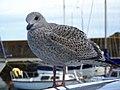Seagull, Stonehaven - geograph.org.uk - 1544727.jpg