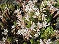 Sedum anglicum subsp. pyrenaicum (14971114218).jpg
