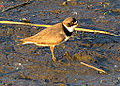 Semipalmated Plover (7284649522).jpg