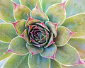 Sempervivum close-up detail.jpg