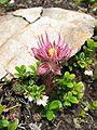 Sempervivum montanum subsp stiriacum.jpg