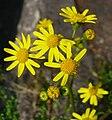 Senecio vernalis inflorescence.jpg