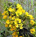 Senna septemtrionalis-- the Arsenic Bush (24959290774).jpg
