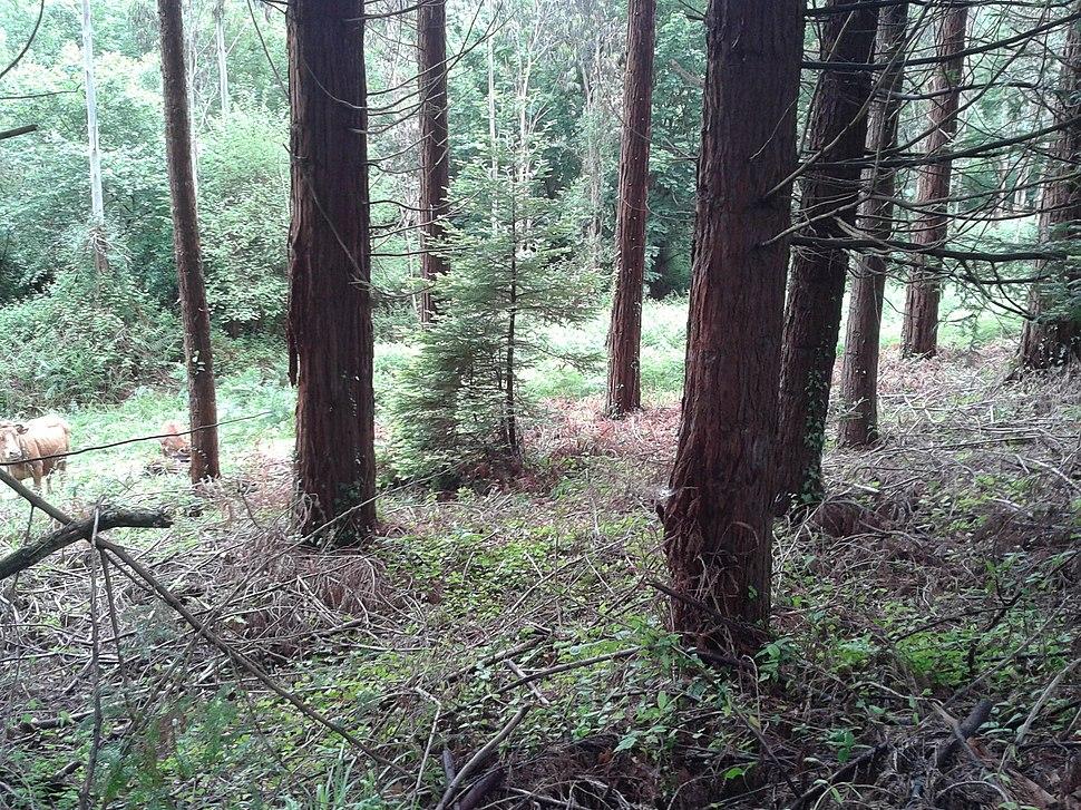 Sequoia nova en Fontao, Foz