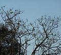 Serinus canicollis, winterswerm, Louwsburg.jpg