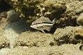 Serranus cabrilla; Comber.jpg