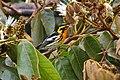 Setophaga fusca Monteverde 04.jpg