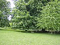 Shade for the sheep in Melbury Park - geograph.org.uk - 438396.jpg