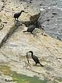 Shags gathering seaweed - geograph.org.uk - 212968.jpg