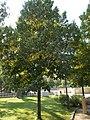 Shankar Dayal Sharma memorial tree, 1973. - Tagore Park, Balatonfüred.JPG
