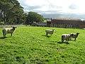 Sheep and barns at Plas Llandegfan - geograph.org.uk - 679172.jpg