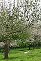 Sheep with apple tree (36108516541).jpg