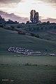 Sheeps (9708349248).jpg