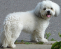 Shih Tzu Soft Toy Dog