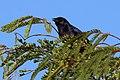 Shiny cowbird (Molothrus bonariensis) male Cu.JPG