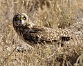 Short-eared Owl (Asio flammeus) - Flickr - Lip Kee (1).jpg