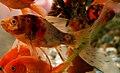 Shubukin goldfish.JPG