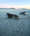 Siberian Huskies (jurvetson).jpg