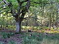 Sika deer under oak tree in Big Wood, Arne - geograph.org.uk - 1772427.jpg