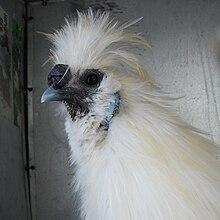 La moroseta ha la cresta a mora e un caratteristico e unico piumaggio serico, simile al pelo di un mammifero
