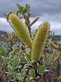 Silky flowers in Padjelanta National Park (DSCF1953).jpg