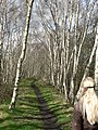 Silver Birch by the footpath, Scarcroft - Bardsey - geograph.org.uk - 155731.jpg
