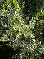 Simmondsia chinensis 2c.JPG